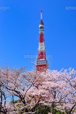 東京タワーと桜の写真素材 [FYI02095025]