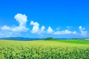 美瑛 トウモロコシ畑と入道雲の写真素材 [FYI02095043]