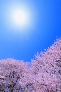 サクラと太陽の写真素材 [FYI02095047]