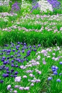 五十公野公園 アヤメ園の写真素材 [FYI02095067]