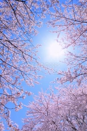 サクラと太陽の写真素材 [FYI02095111]