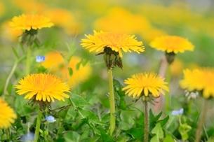 タンポポの花の写真素材 [FYI02095132]