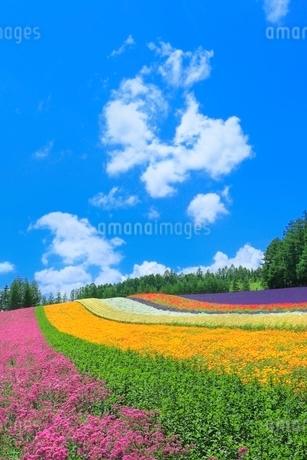 ファーム富田,彩りの畑(コマチソウ,カルフォルニアポピー,カスミソウ)の写真素材 [FYI02095148]