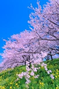 桜並木とナノハナの写真素材 [FYI02095175]