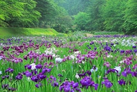五十公野公園 アヤメ園の写真素材 [FYI02095209]