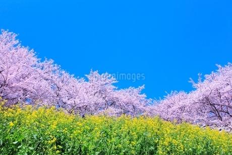 桜並木とナノハナの写真素材 [FYI02095228]