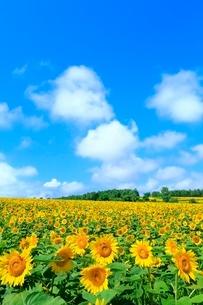 北竜町ひまわりの里 ヒマワリの花畑と雲の写真素材 [FYI02095238]