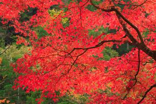 奥津渓 カエデの紅葉の写真素材 [FYI02095239]