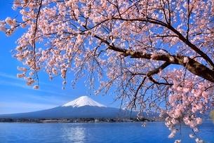河口湖の桜と富士山の写真素材 [FYI02095410]
