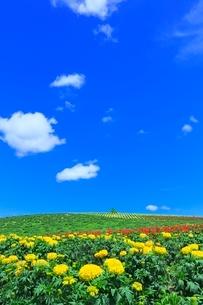 かんのファーム,花畑(マリーゴールド)の写真素材 [FYI02095418]