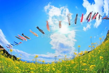 ナノハナ畑の鯉のぼりと太陽に光芒の写真素材 [FYI02095441]