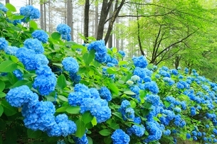 アジサイの花の写真素材 [FYI02095469]