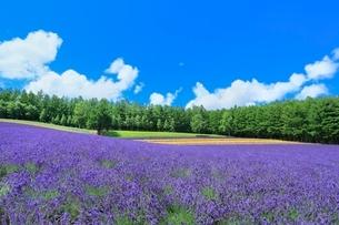 彩香の里,ラベンダーの花畑の写真素材 [FYI02095483]