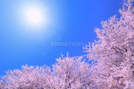 サクラと太陽の写真素材 [FYI02095549]