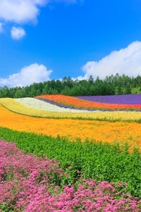 ファーム富田,彩りの畑(コマチソウ,カルフォルニアポピー)の写真素材 [FYI02095560]