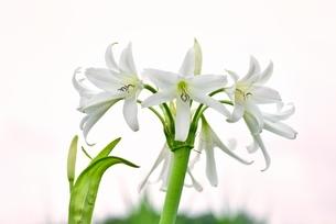 ハマユウの花の写真素材 [FYI02095565]