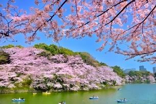 千鳥ヶ淵の桜の写真素材 [FYI02095569]