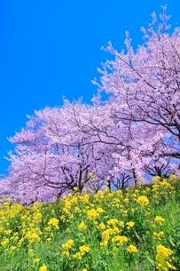 桜並木とナノハナの写真素材 [FYI02095585]