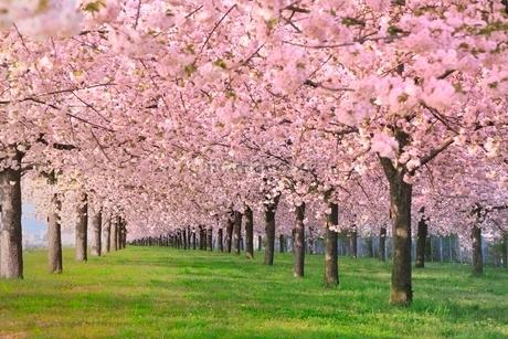 八重桜の並木の写真素材 [FYI02095614]