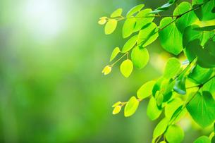 新緑のカツラアップの写真素材 [FYI02095632]