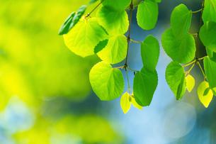 新緑のカツラアップの写真素材 [FYI02095703]