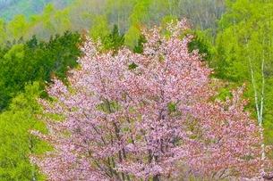 桜の花と新緑の白樺の写真素材 [FYI02095706]