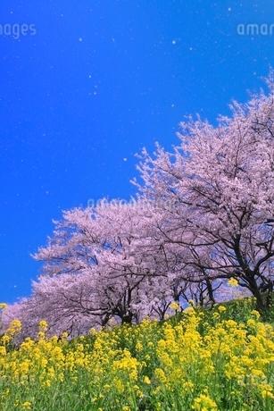 桜並木とナノハナにサクラ吹雪の写真素材 [FYI02095748]
