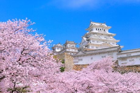 サクラと姫路城の写真素材 [FYI02095754]