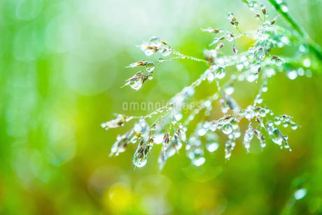 新緑の草に付いた水滴の写真素材 [FYI02095803]