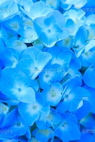 アジサイの花の写真素材 [FYI02095831]
