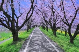 桜並木と道の写真素材 [FYI02095844]