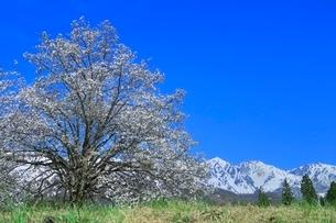 白馬四十九院のコブシと白馬三山の写真素材 [FYI02095886]