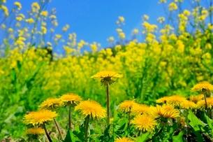 タンポポの花とナノハナの写真素材 [FYI02095940]