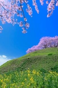 丘のサクラとナノハナの写真素材 [FYI02095958]