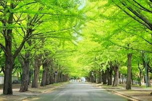 北海道大学,新緑のイチョウ並木の写真素材 [FYI02096012]