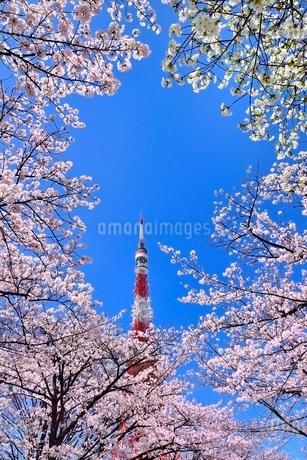 東京タワーと桜の写真素材 [FYI02096096]