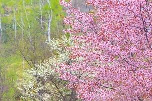 桜の花と新緑の白樺の写真素材 [FYI02096097]