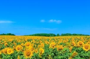 北竜町ひまわりの里 ヒマワリの花畑の写真素材 [FYI02096114]