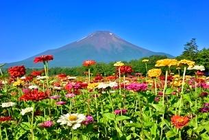 花の都公園 富士山と百日草の花畑の写真素材 [FYI02096149]