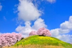 丘に桜と雲の写真素材 [FYI02096153]