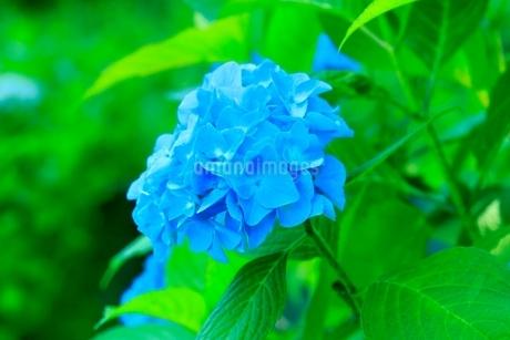 アジサイの花の写真素材 [FYI02096206]
