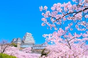 サクラと姫路城の写真素材 [FYI02096209]