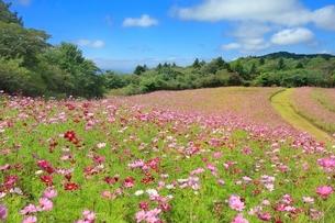 信州佐久・内山牧場のコスモス園の写真素材 [FYI02096233]