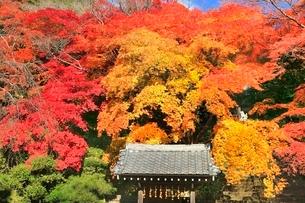 京都・洛西 紅葉の金蔵寺の写真素材 [FYI02096236]
