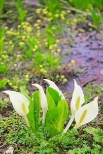 ミズバショウの花の写真素材 [FYI02096261]