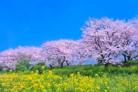桜並木とナノハナの写真素材 [FYI02096281]