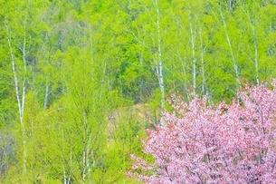 桜の花と新緑の白樺の写真素材 [FYI02096311]