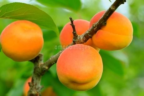杏の実の写真素材 [FYI02096316]