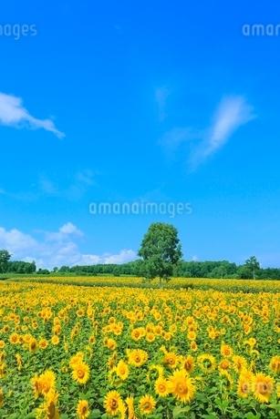 北竜町ひまわりの里 ヒマワリの花畑とシラカバの木の写真素材 [FYI02096447]