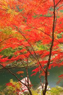 奥津渓 奥津川と紅葉の写真素材 [FYI02096461]